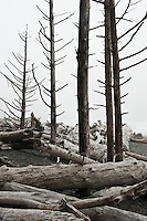 Dead trees and driftwood at Rialto Beach, Olympic national park, Washington, USA
