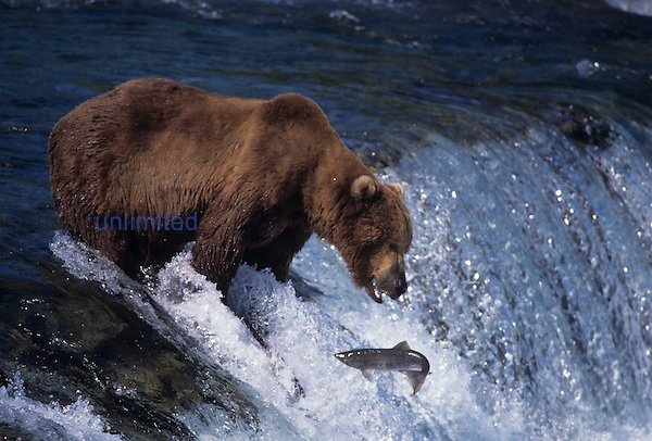 An Alaska Brown Bear fishing. (Ursus arctos) Katmai National Park
