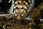 Nudibranch-Cerberilla annulata sp2, Lembeh Straits, Sulawesi Sea, Indonesia, Amazing Underwater Photography