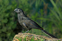 506100066 a wild groove-billed ani crotophaga sulcirostris perches on a dead tree limb on a ranch in the rio grande valley of south texas