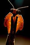 Dead Leaf Mantis, Deroplatys lobata, close up portrait, brown colour, large eyes, backlight