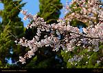 Sakura in Full Bloom Satsukiyama Koen Osaka Japan