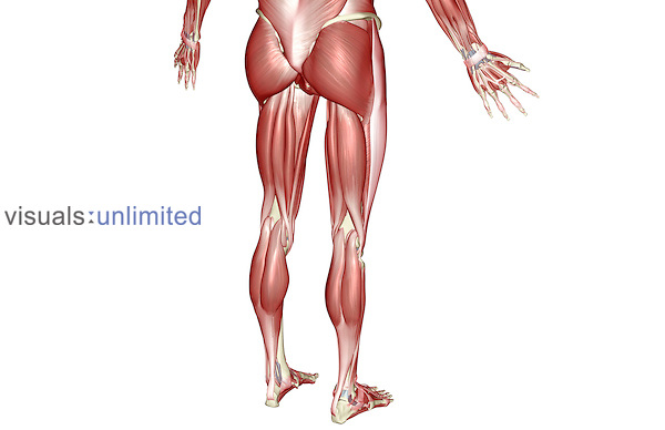 A posterolateral view (right side) of the muscles of the lower body. Royalty Free