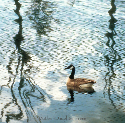Canada goose swimming in rippled reflection of trees