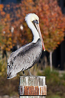 A brown pelican poses on a piling in San Francisco's MIssion Creek.  In the background, a tinge, a taste, of fall color.