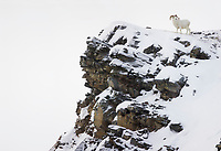 Dall sheep ram on rock outcrop in Atigun Pass, Brooks Range, arctic, Alaska