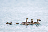 Common Eider and ducklings swim in the waters around Svalbard