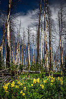 New growth springs forth in the Las Conchas wildfire burn scar in New Mexico's Santa National Forest.