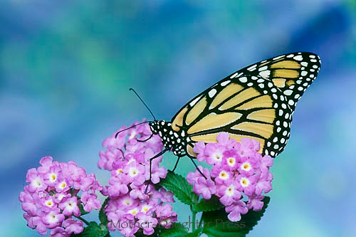 Monarch butterfly, Danaus plesxippus, on blooming purple lantana flowers
