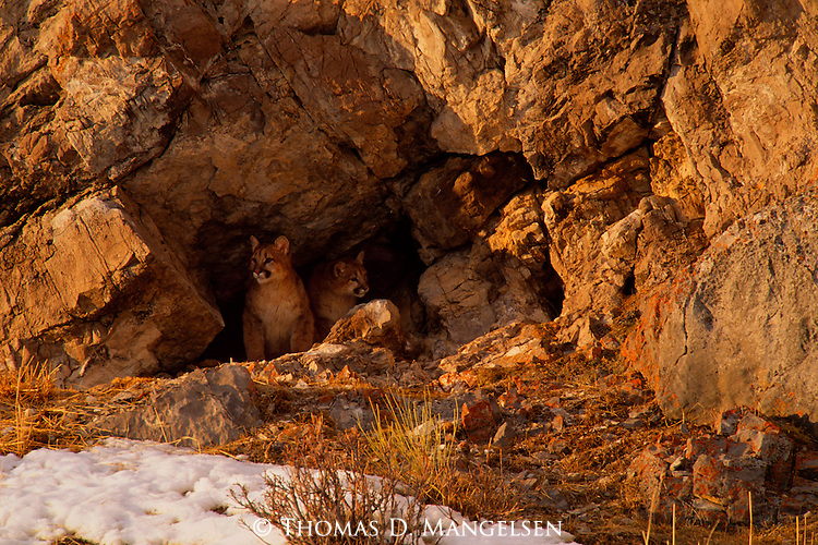 Still a year away from striking out on their own, two mountain lion cubs take up part-time residence in a cave adjacent to their principal den site on the National Elk Refuge in Jackson Hole, Wyoming.
