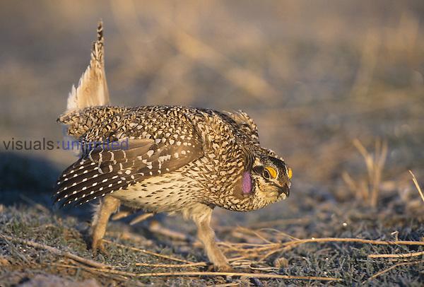 Sharp-tailed Grouse (Tympanuchus phasianellus) male dancing display during the breeding season on the Nebraska tallgrass prairie.