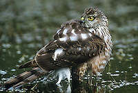 542308015 Sharp-shinned Hawk Accipiter striatus WILD.Juvenile bathing in small pond.Rio Grande Valley, Texas