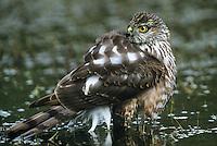 542308015 Sharp-shinned Hawk Accipiter striatus WILD.Juvenile bathing in small pond.Rio Grande Valley, Texas