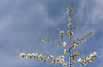 The top of a cherry tree in full bloom is seen against the blue sky with white wispy clouds.