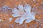 Digital Art of a frozen Oak Leaf, created from a original photograph