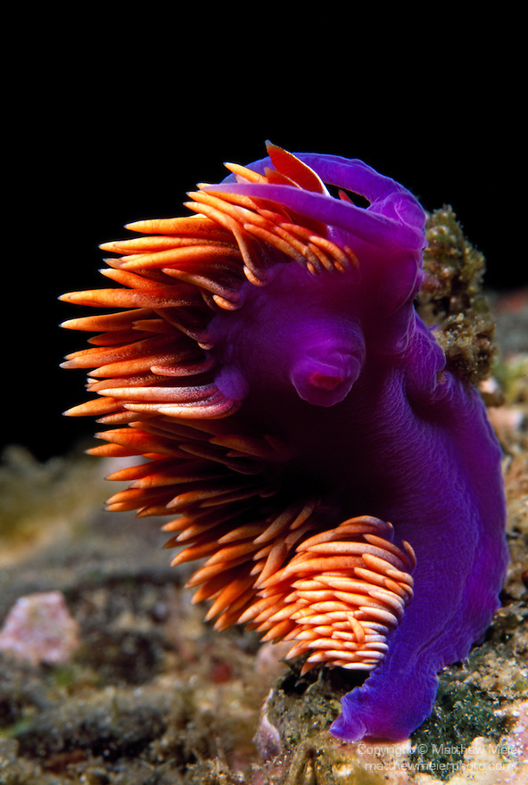 Santa Cruz Island, Channel Island National Park and National Marine Sanctuary, California; a Spanish Shawl (Flabellina iodinea) nudibranch swaying in the current while still attached to the rocky reef , Copyright © Matthew Meier, matthewmeierphoto.com All Rights Reserved