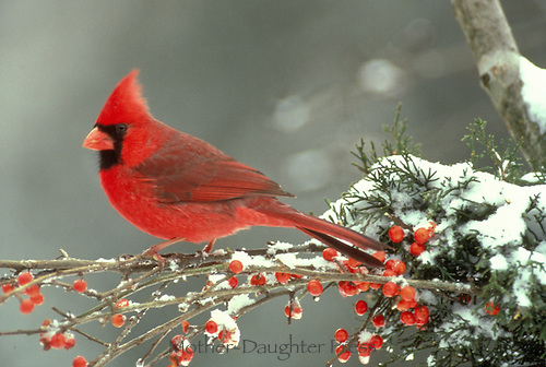 Male Northern Cardinal Richmondena cardinalis) sitting on icy branches of frozen holly  berry and snow, Missouri USA
