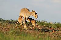 Mission: Saiga.Mother saiga (Saiga tatarica) and calves in the steppe near Cherniye Zemly (Black Earth) Nature Reserve, Kalmykia, Russia, May 2009.Saiga tatarica