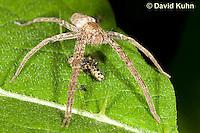 0113-1002  Nursery Web Spider Standing Over Recently Consumed Prey, Pisaurina mira  © David Kuhn/Dwight Kuhn Photography