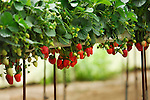 Greenhouse with organic strawberry growing in suspended automatically watering trays
