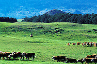 Cowboy working the cattle herd on Parker Ranch with ocean in background, Waimea (Kamuela), Island of Hawaii