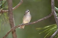 590640003 a wild male plumbeous vireo vireo plumbeous perches on a tree limb on mount lemmon tucson arizona united states
