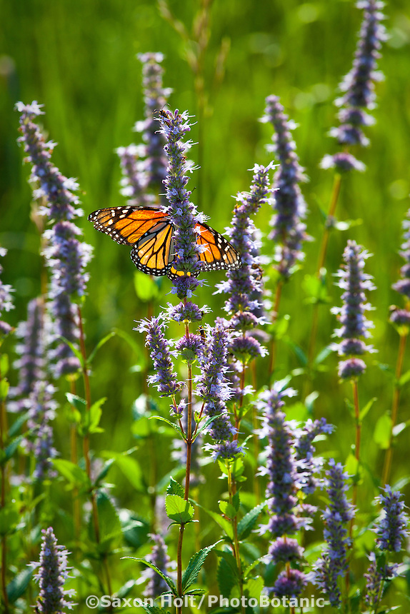 Fragrant Blue giant hyssop or Anise hyssop (Agastache foeniculum) wildflower native plant in Crow-Hassan Park, prairie reserve with monarch butterfly