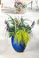 Astelia in blue urn container with Carex 'Everillo' and Salvia at Sunset Collection Plant Display - Spring Trials