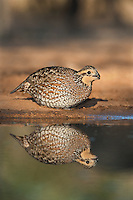 509250076 a wild northern bobwhite female colinus virginianus drinks at a small pond on beto gutierrez santa clara ranch hidalgo county lower rio grande valley texas united states