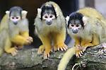 Foto: VidiPhoto<br /> <br /> APELDOORN - In de Apenheul in Apeldoorn mochten de doodshoofdaapjes van het park donderdag voor het eerst naar buiten. Het is de bedoeling dat ze alvast wennen aan het buitenverblijf alvorens het publiek komt. De meeste aapjes vonden het echter nog te koud en gingen snel weer naar binnen. Maandag gaat de apentuin weer open voor het grote publiek. Vanaf 1 november vorig jaar hebben de apen binnen gezet. Het loslaten van de doodshoofdaapjes is voor de verzorgers het teken dat het nieuwe seizoen weer staat te beginnen. De Apenheul heeft op dit moment 67 doodshoofdaapjes, de helft van het aantal van vorig jaar. Een groot deel van deze publiekstrekkertjes is verhuisd naar andere dierentuinen omdat de groep te groot werd.