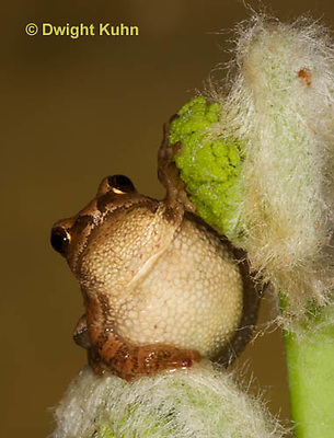 FR16-559z  Spring Peeper on young unfolding ferns, Hyla crucifer or Pseudacris crucifer