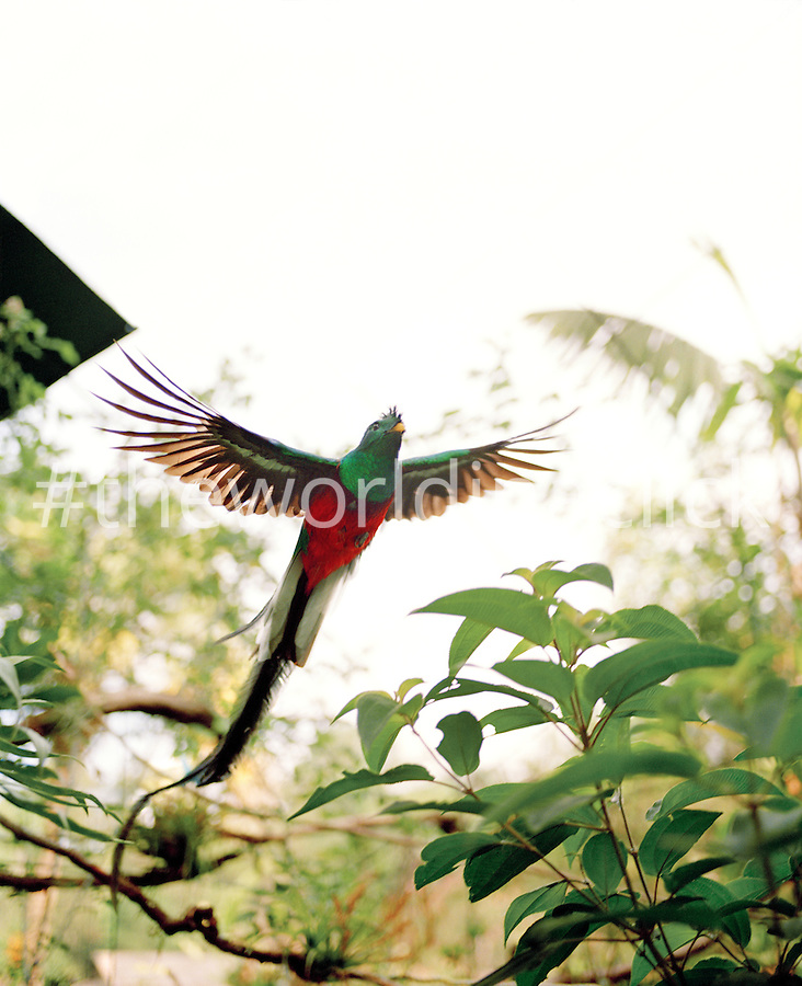 MEXICO  Tapachula  Quetzal in flight  Finca IrlandaQuetzal In Flight