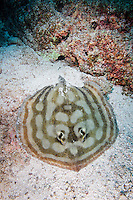 QT0733-D. Reef Stingray (Urobatis concentricus). Baja, Mexico, Sea of Cortez, Pacific Ocean.<br /> Photo Copyright &copy; Brandon Cole. All rights reserved worldwide.  www.brandoncole.com