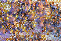 Driven insane by honey on a comb left in the open, the bees feast on honey and pillage the combs. They have become aggressive and their excitement soon spreads to the entire apiary..