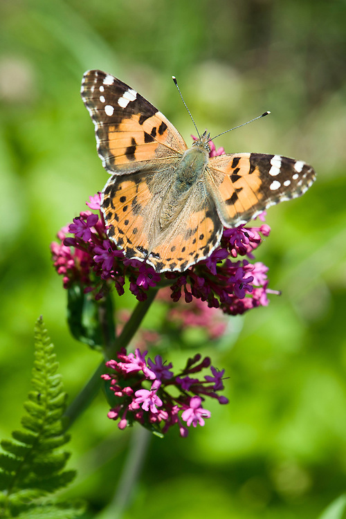 Painted lady butterfly (Vanessa (Cynthia) cardui) on red valerian, late May.