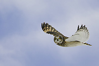 Short-eared Owl watches while flying by