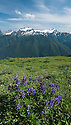 Mount Olympus from the High Divide Trail, with Lupine in the foreground; Olympic National Park, Washington.
