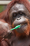 Bornean Orangutan (Pongo pygmaeus wurmbii) - Siswi the Queen of the jungle of Camp Leakey brushes her teeth.