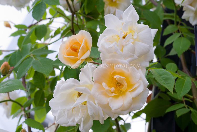 Rosa 'Goldfinch' roses yellow cream white