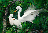 525007617 a mated pair of wild great egrets casmerodius alba interact on their nest in in a small wading bird rookery in south texas