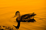 Water dripping from a ducks beak in a golden pond