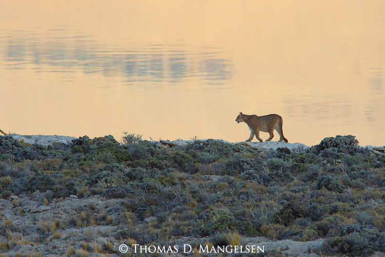 A Puma walks along the rocky cliffside in the tall grass in Patagonia, Chile.