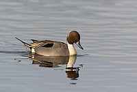 571350001 a wild drake northern pintail anas acuta swims in a shallow pond at colusa national wildlife refuge califonai