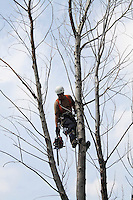 Arborist in Harness inTree Reaching for Chain Saw