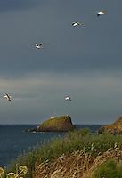 GIU 2010 Sardegna, Capo di Pula, gabbiani.JUN 2010 Sardinia, Capo di Pula, seagulls