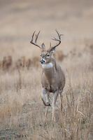 Montana whitetail bucks during the fall rut