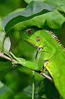 Young Green Iguana on green leaves<br /> St. John<br /> U.S. Virgin Islands