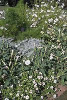 White Garden color theme: Centaurea gymnocarpa, Cleome, fragrant annual trumpet shaped flowers of Datura Belle Blanche,  Zinnia Profusion White, Artemisia ludoviciana