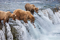 Brown bears fish for red salmon on the falls of Brooks river, Katmai National Park, southwest, Alaska.