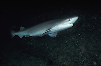 mz10. Bluntnose Sixgill Shark (Hexanchus griseus), a deepwater primitive species with six gill slits. British Columbia, Canada, Pacific Ocean..Photo Copyright © Brandon Cole. All rights reserved worldwide.  www.brandoncole.com